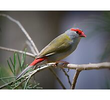 Red Browed Finch Photographic Print