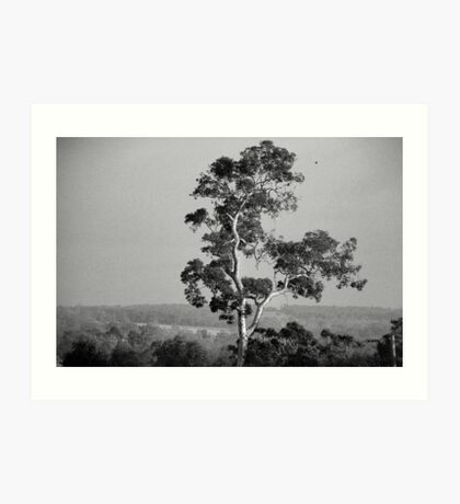 A Giant Above The Rest - Eucalyptus Tree Art Print