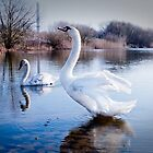 Swan, early morning stretch by Ralph Goldsmith