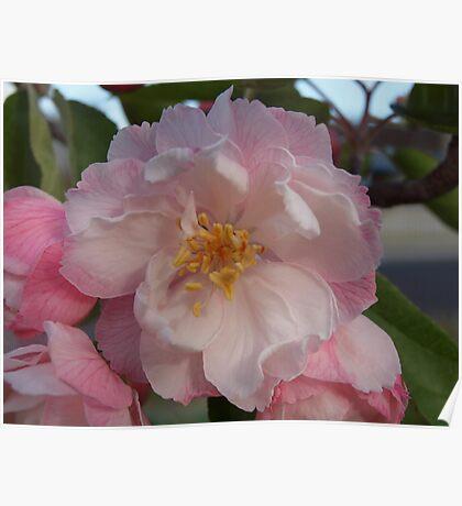 Crab-Apple tree blossom Poster