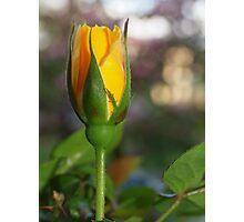 My very yellow rose bud Photographic Print