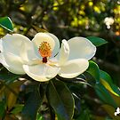 Magnolia by Photography by TJ Baccari