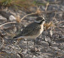 Plover - Amboseli, Kenya by citrineblue