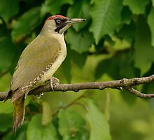 Green Woodpecker - II (Picus viridis) by Peter Wiggerman