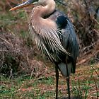 Great Blue Heron posing by Larry  Grayam