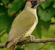 Green Woodpecker - I (Picus viridis) by Peter Wiggerman