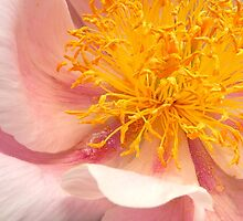 Peony by Paraplu Photography