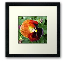 Pretty Pansy Framed Print