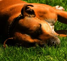 Resting Staffy by Mark Burt