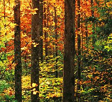 HARDWOOD FOREST,AUTUMN by Chuck Wickham