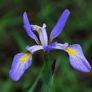 Puple Iris by Irvin Le Blanc