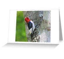 Red Headed Woodpecker Greeting Card