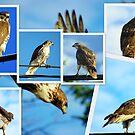 Mr. Hawk by Larry Llewellyn