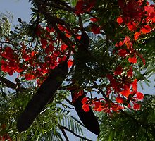 Flame Tree flowers by solena432