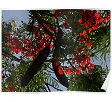 Flame Tree flowers Poster