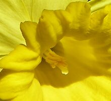 A Pretty Daffodil by MaryinMaine