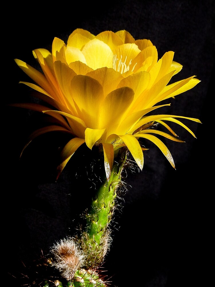 Torch cactus by Linda Sparks