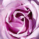 Blue Moon Hybrid Tea Rose by ~ Fir Mamat ~