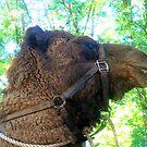 Camel by Peta Hurley-Hill
