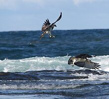 Ospreys at Shelly Beach Caloundra  by Debbie  Widmer