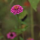Purple Zinnia by Jennifer Rigsby