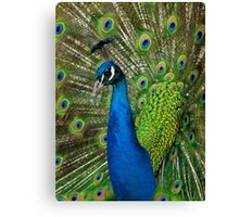Peacock close up Canvas Print