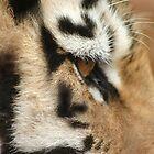 Eye of the Tiger by Debbie Schiff