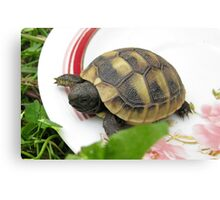 Baby Eastern Hermann's Tortoise at Home Canvas Print