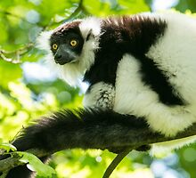 Black-and-white Ruffed Lemur by Dominika Aniola