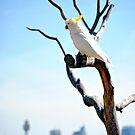 Sydney Cockatoo by Paul Cush
