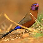 Violet-eared Waxbill by Corien