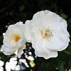 White beauty by lochithea