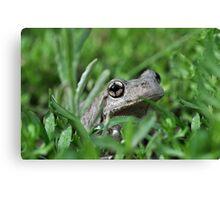 Perons Tree Frog, Litoria peronni. Canvas Print