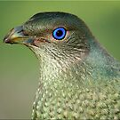 Bower Bird Female by Kym Howard