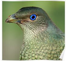 Bower Bird Female Poster