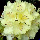 Pale Yellow Rhodie by plunder