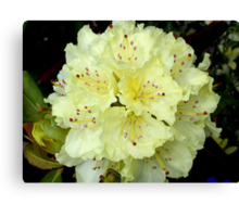 Pale Yellow Rhodie Canvas Print