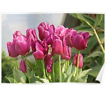 Tulips at Eden Poster