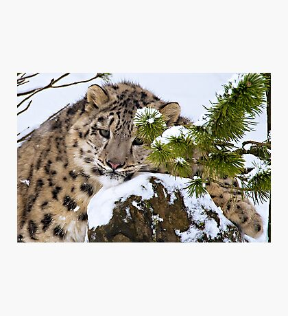 Young Snow Leopard in the snow.  Photographic Print