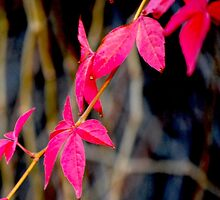 Red Red Leaves by Claire Elford