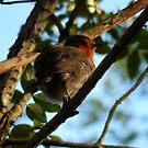Fluffy Robin - late May by Babz Runcie