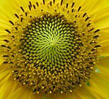 Green Sunflower by JaneAlbin