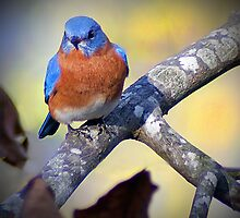 """Male Eastern Bluebird"" by Melinda Stewart Page"