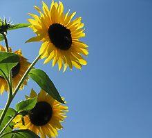 Sunflower by JaneAlbin