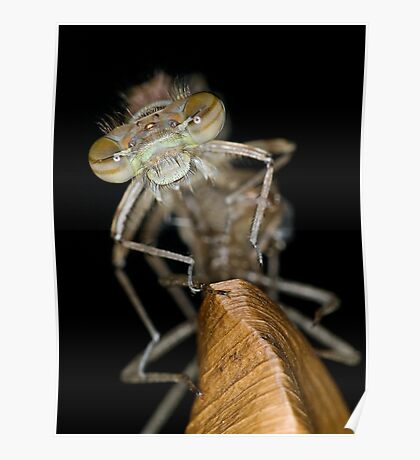 Eclosing of the red damselfly Poster
