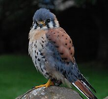 Midget - an American Kestrel by Tony Reed