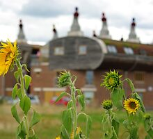 Bedzed sunflowers by lukasdf