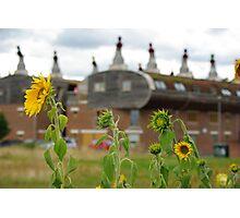 Bedzed sunflowers Photographic Print