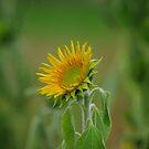 a single sunflower by lukasdf
