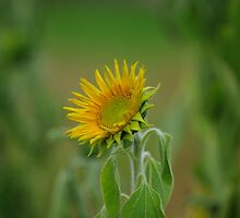 a single sunflower by lukasdf